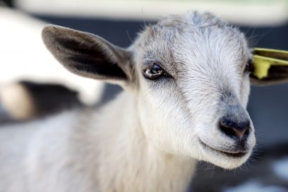 Why I started drinking goat's milk kefir to improve my digestion