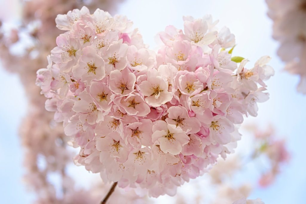Heartfulness - heart shaped blossom on tree