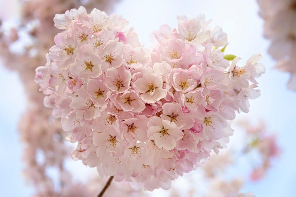 Heartfulness - heart shaped blossom on tree
